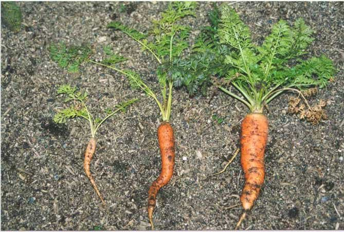 carrots grown with worm castings