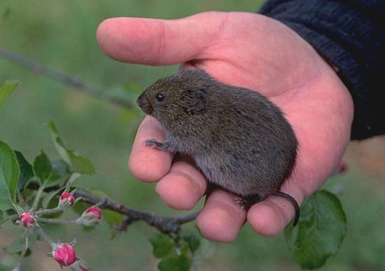 Towsend's Vole