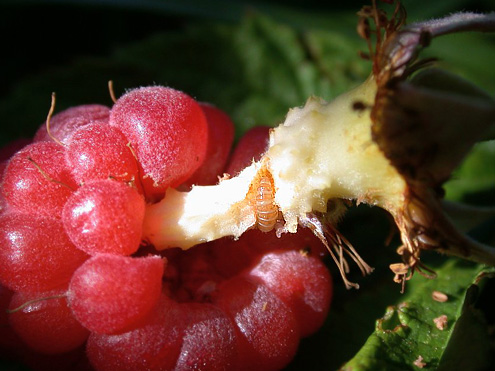 ChInsect Damage on Raspberry