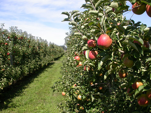 Apples in Field